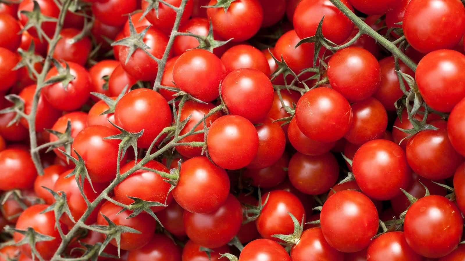 Närbild av mängder av röda körsbärstomater på kvist.